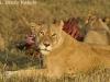 lions-at-a-kill-in-masai-mara