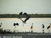 Marabou Storks in Lamu Island
