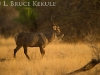 Waterbuck bull in Samburu