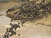 Wildebeest and Zebra crossing the Mara River
