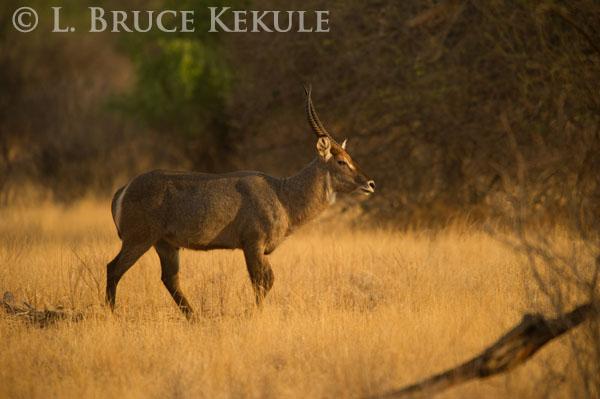 Waterbuck bull in Samburu