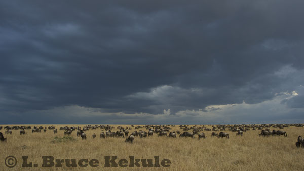 Wildebeest on the savannah in Maasai Mara during late afternoon