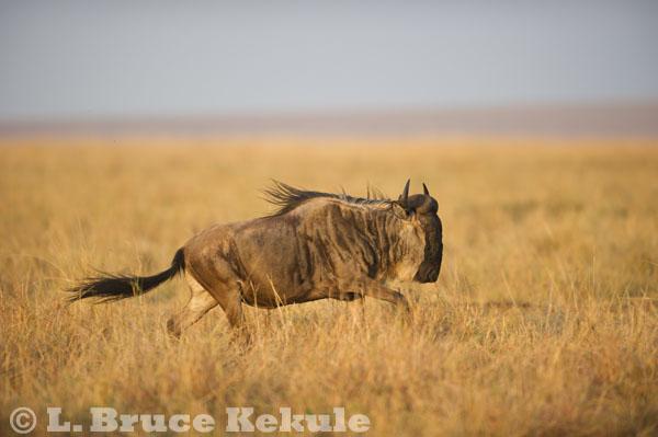 Wildebeest on the run in Maasai Mara