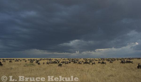Wildebeest on the savannah in Maasai Mara