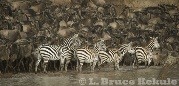 Zebra & wildebeest by the Mara River, Kenya
