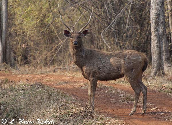 Mature sambar stag with battkescars in Tadoba
