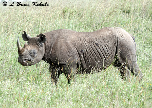 Black rhino in Nairobi National Park