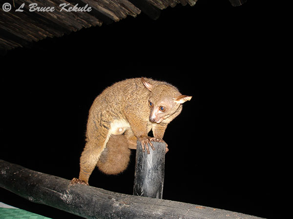 Bushbaby at the hotel in Shimba Hills WS