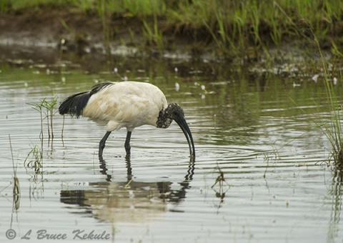 African Ibis in Nairobi National Park