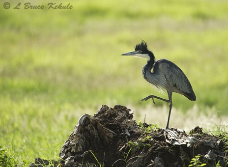 Black-headed heron in Amboseli NP