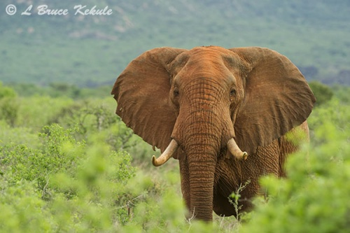bull-elephant-in-tsavo