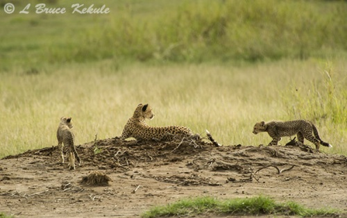 Cheetha family in Amboseli NP
