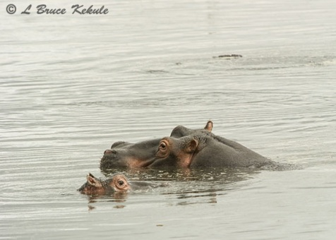 Hippo mother and baby in Amboseli NP