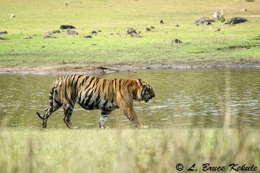 Tiger male at the lake in Tadoba