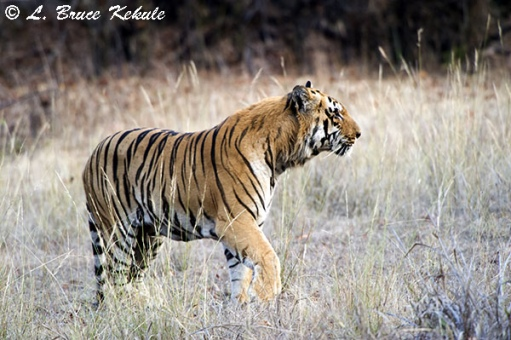 Tiger male near the road in Tadoba