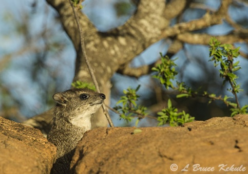 Rock hyrax in Tsavo (West)