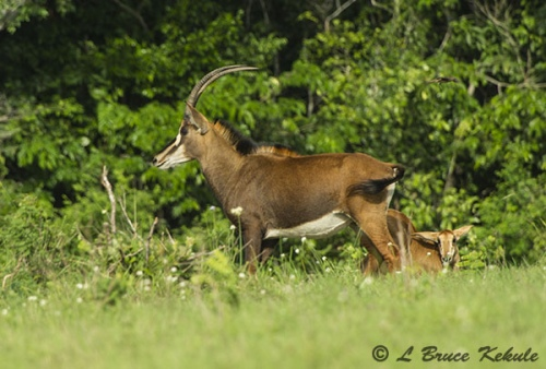 Sable antelope in Shimba Hills WS
