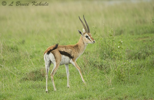 Thomson's gazelle in Nairobi NP