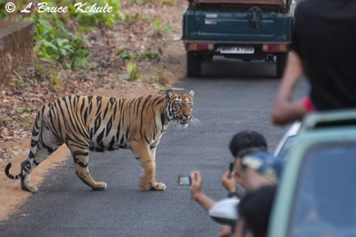 Tiger cub on the road in Tadoba
