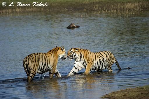 Tigers pair in the lake at Tadoba
