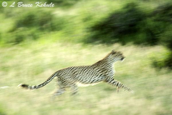 Cheetha in Amboseli NP