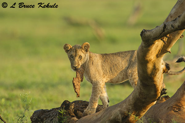 Lion cub in Tsavo East