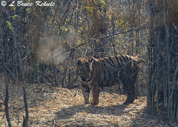 male-tiger-w