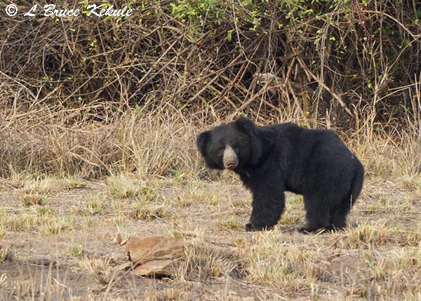 Sloth bear in Tadoba