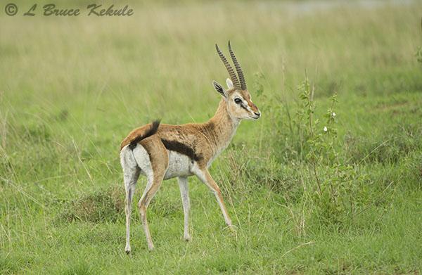 Thomson's gazelle in Nairobi NP