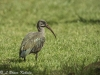 African glossy ibis in Tsavo (West)