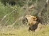 black-maned-lion1