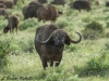 Cape buffalo bull in Tsavo East NP