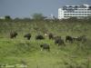 Cape buffalo in Nairobi NP
