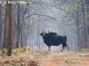 Bull gaur in Tadoba Buffer zone