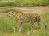 Cheetha on the prowl in Amboseli NP