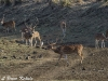Chital stags (spotted deer) in Tadoba