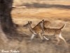 chital-females-on-the-run-in-tadoba