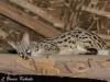 Genet cat in Tsavo (East)