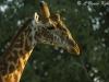Giraffe male in Shimba Hills WS