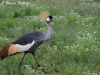 Grey Crowned Crane in Amboseli NP