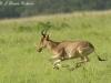 Hartebeest running in Nairobi NP