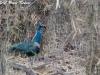 indian-blue-peafowl-w