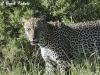 Leopard in Samburu Nationa Reserve