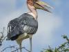 Marabou stork in Tsavo (West)
