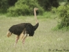 Ostrich in Aboseli National Park