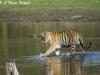 Tiger cub in the lake at Tadoba