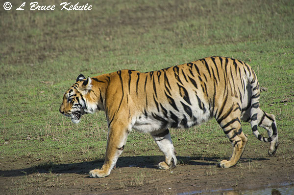 Tigers walking by the lake in Tadoba