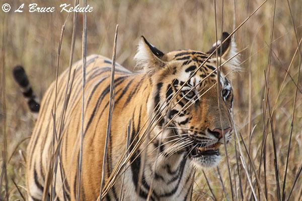 Tiger cub up-close near the lake at Tadoba
