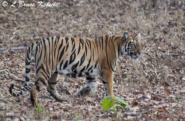 Tiger cub posing by the road in Tadoba
