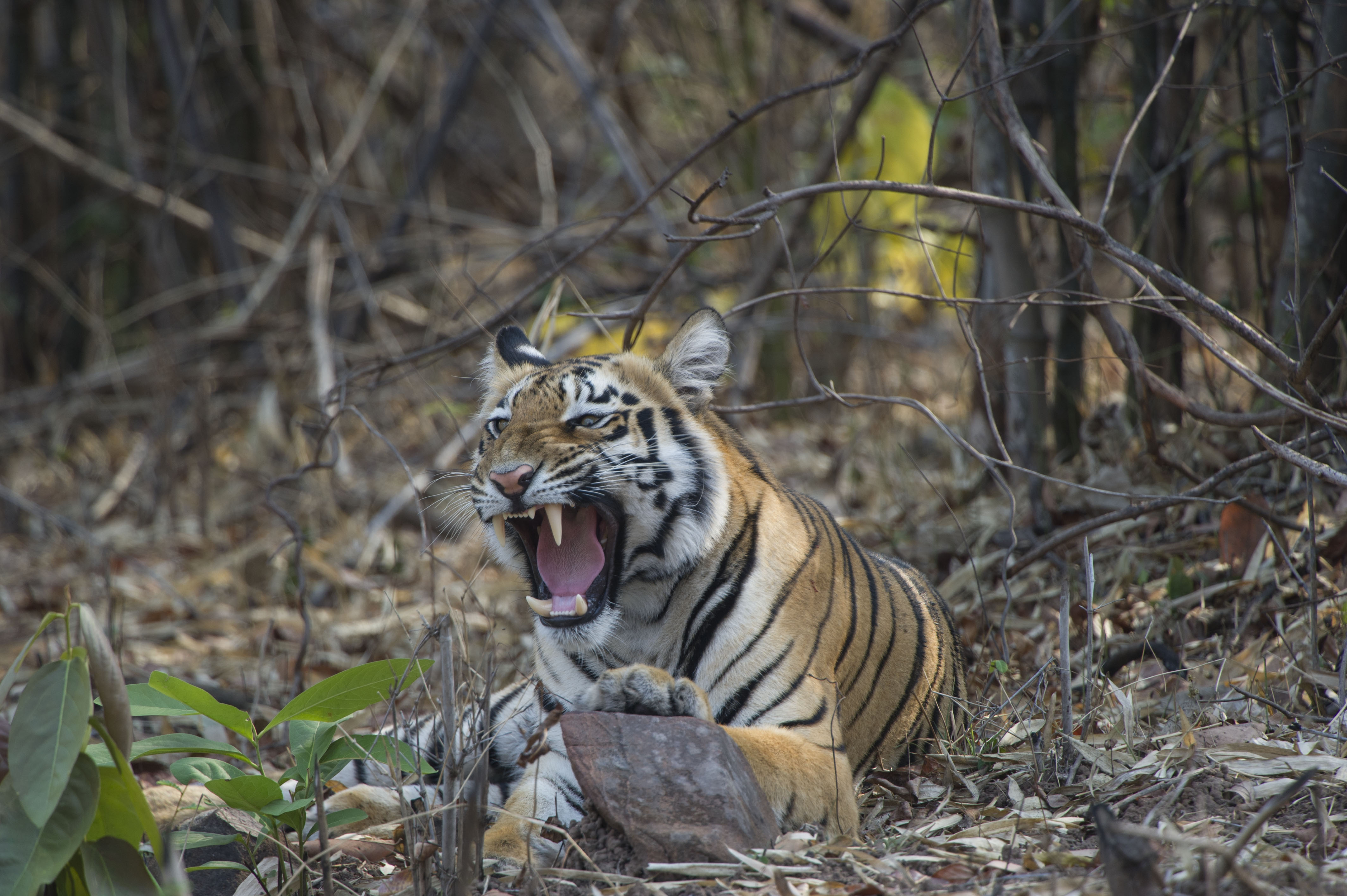 Tiger cub posing by the road in Tadoba